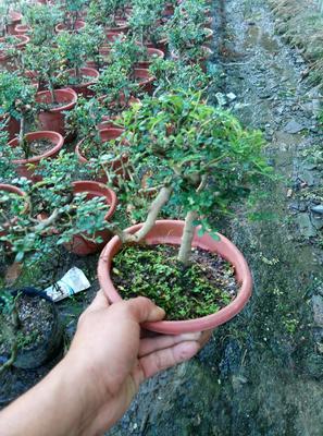 广东省广州市花都区清香木盆栽