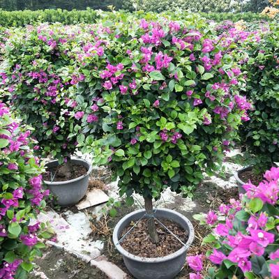 福建省漳州市龙海市紫花三角梅 1.0~1.5米