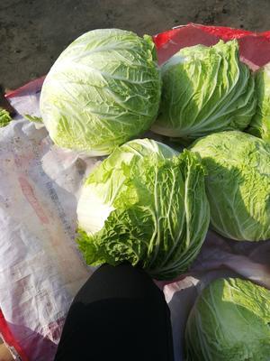 河南省周口市西华县青麻叶大白菜 6~10斤 净菜