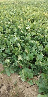 安徽省宿州市大红袍萝卜 0.2~1斤