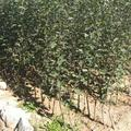 花牛苹果树苗 0.5~1米