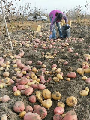 这是一张关于红土豆 5两以上的产品图片