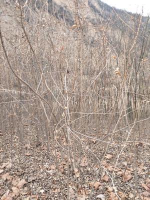 山西省临汾市霍州市银杏实生树