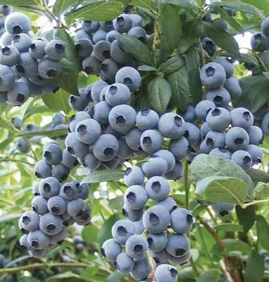 辽宁省丹东市振安区北陆蓝莓 鲜果 15mm以上