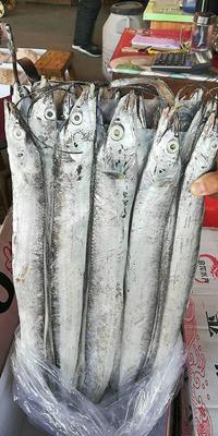 天津西青区冷冻带鱼