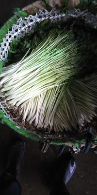 江苏省无锡市宜兴市尖叶水芹 45~50cm