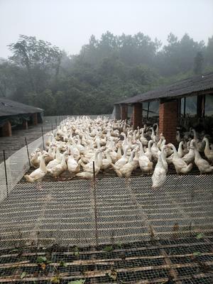 江西省宜春市上高县大白鹅 公 半圈养半散养 6-8斤