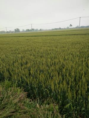 江苏省泰州市姜堰区糯稻谷 晚稻