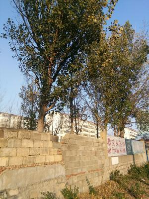 山东省莱芜市钢城区107杨