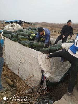 新疆维吾尔自治区乌鲁木齐市头屯河区黑皮冬瓜 10斤以上 黑皮