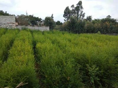 云南省昆明市官渡区南方红豆杉 1.5~2米
