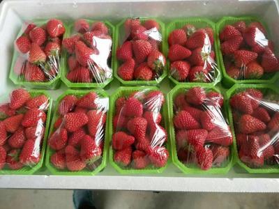 辽宁省丹东市东港市九九草莓 50克以上