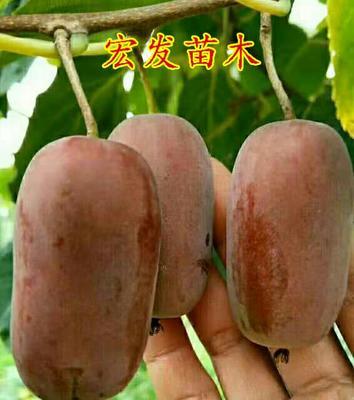 软枣猕猴桃苗 嫁接苗