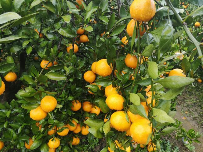 石门蜜橘 5.5 - 6cm 2 - 3两