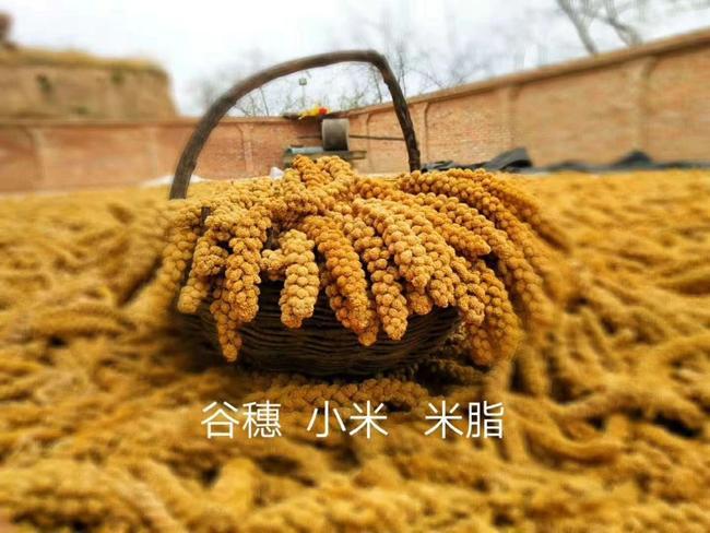 【米脂小米批发】米脂小米价格7元\/斤 500斤起
