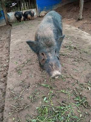 湖南省郴州市资兴市藏香猪 20-40斤