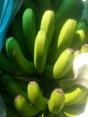 云南省文山壮族苗族自治州马关县河口香蕉 八成熟