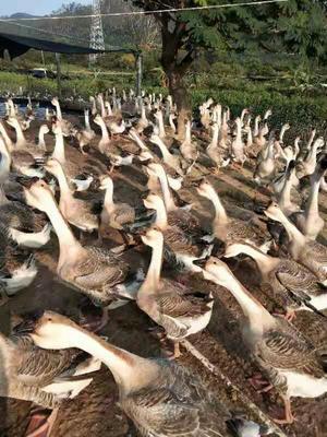 福建省龙岩市上杭县狮头鹅 统货 全散养 12斤以上