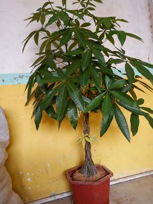 广西壮族自治区钦州市灵山县辫子发财树