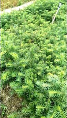 贵州省黔西南布依族苗族自治州兴义市杉木树苗