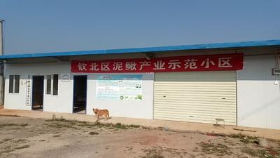 广西壮族自治区钦州市钦北区台湾泥鳅 35尾/公斤 15cm以上 人工养殖