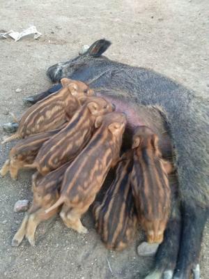黑龙江省哈尔滨市木兰县生态野猪 160-200斤 公