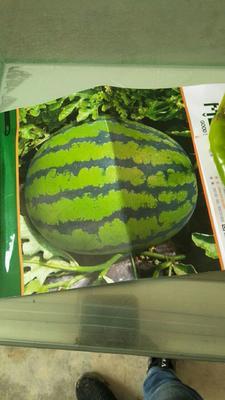 陕西省渭南市大荔县甜王西瓜 有籽 1茬 8成熟 8斤打底