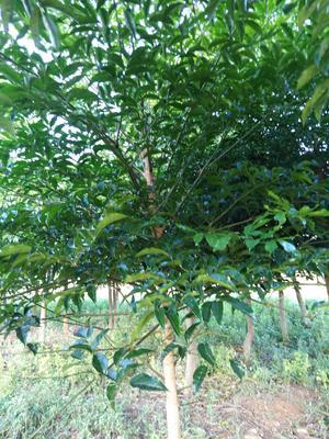 云南省红河哈尼族彝族自治州开远市盆栽发财树