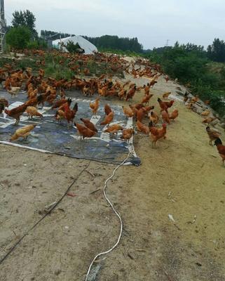 安徽省阜阳市颍上县鸡肉类 新鲜