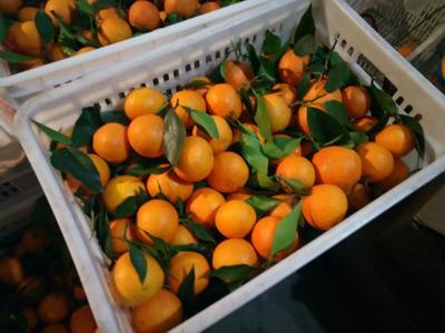爱媛38号柑桔 6.5 - 7cm 3两以上