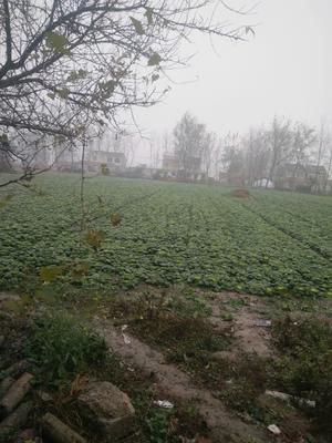 安徽省蚌埠市怀远县大地秋黄心菜