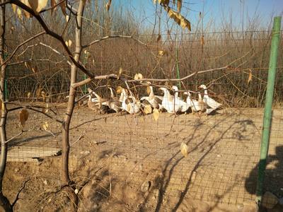 宁夏回族自治区银川市金凤区农家土鹅 统货 半圈养半散养 8-10斤