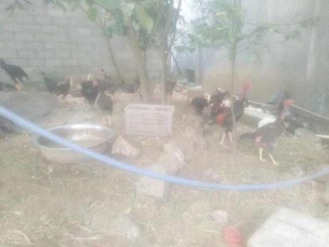 斗鸡公4-5斤空手道巴西柔术图片