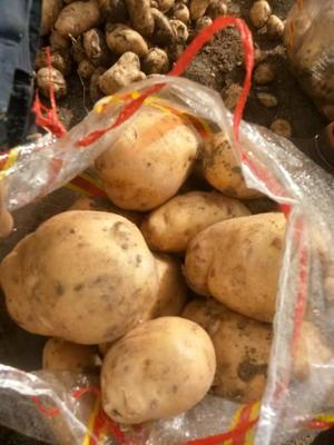 内蒙古自治区乌兰察布市兴和县226土豆 3两以上