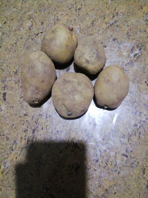 云南省曲靖市宣威市宣薯2号 1~2两