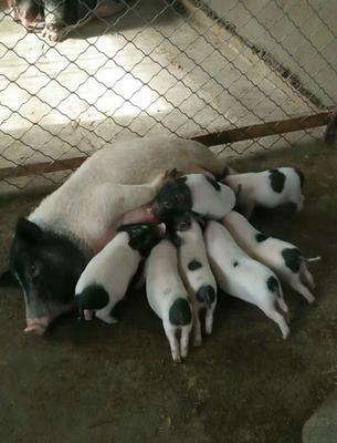 吉林省吉林市永吉县巴马香猪 20斤以下