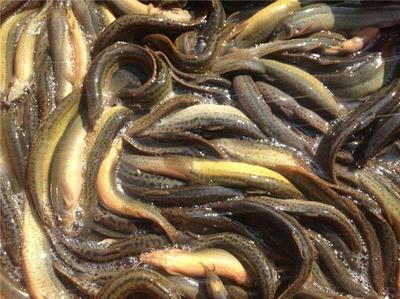 四川省泸州市江阳区台湾泥鳅 55尾/公斤 10-15cm 人工养殖