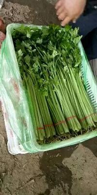 山东省聊城市东昌府区法国皇后芹菜 50~55cm 大棚种植 0.5~1.0斤