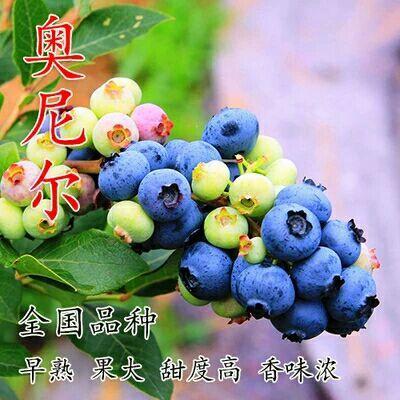 奥尼尔蓝莓苗