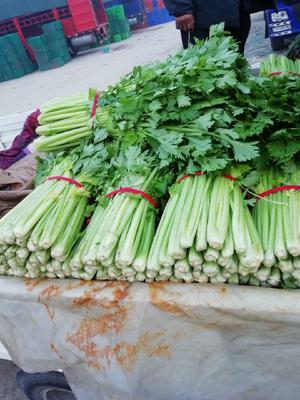 山东省临沂市沂南县皇妃芹菜 50~55cm 大棚种植 0.5~1.0斤