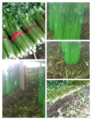 山东省菏泽市曹县法国皇后芹菜 60cm以上 大棚种植 0.5~1.0斤