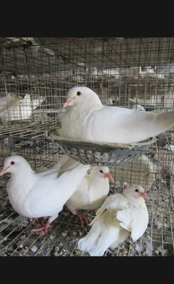 广东省湛江市肉鸽 400-500克