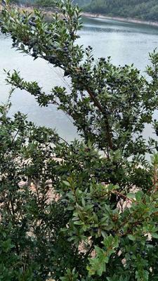 浙江省丽水市景宁畲族自治县野生蓝莓 鲜果 2 - 4mm以上