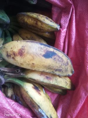 广西壮族自治区玉林市容县芭蕉 八成熟