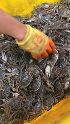 山东省济宁市微山县阳澄湖大闸蟹 1.0两 母蟹
