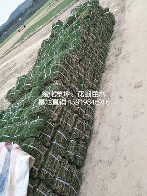 广东省深圳市南山区马尼拉草皮
