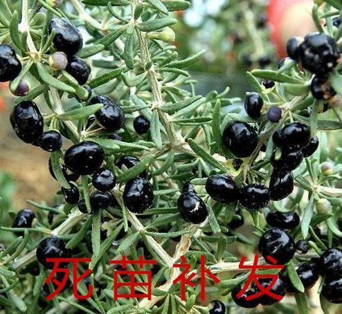 黑枸杞苗 包品种包成活