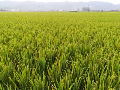 广东省梅州市蕉岭县杂交稻 晚稻