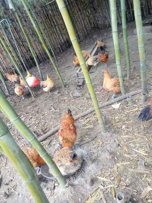 四川省泸州市叙永县土鸡 统货 6-7斤