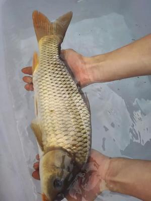 贵州省遵义市赤水市河鲤鱼 人工养殖 0.5-2.5公斤